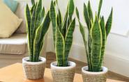 Sử dụng cây xanh lọc không khí trong nhà như thế nào?